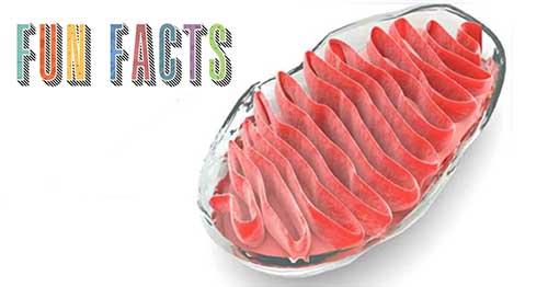 mitocondria fun facts